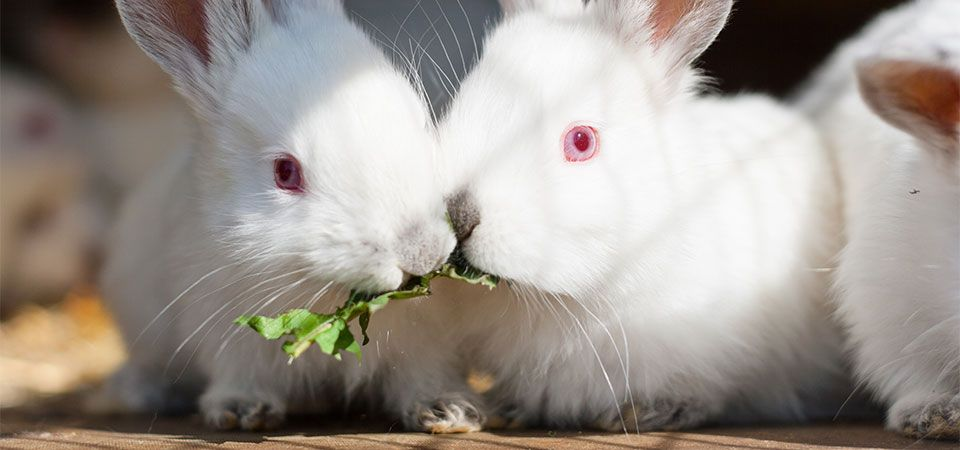 white rabbits with red eyes
