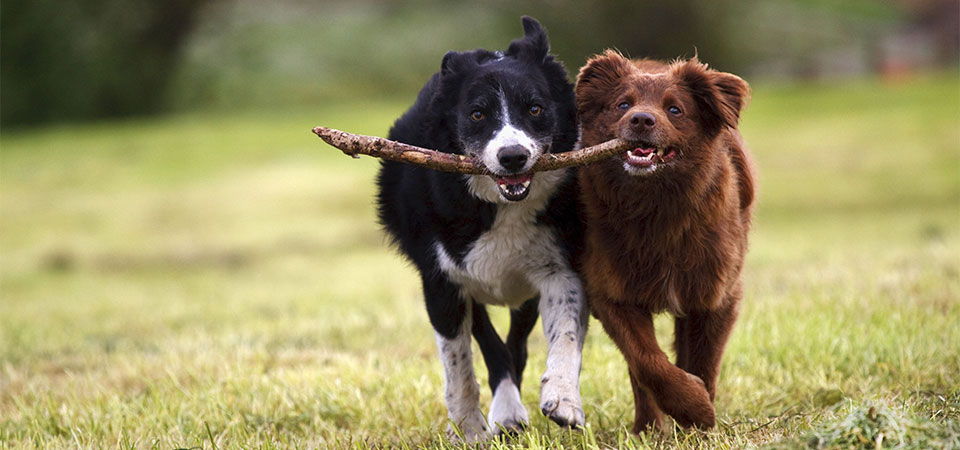 two dogs biting on stick running